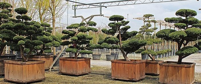 taxus cuspidata bonsai die japanische eibe. Black Bedroom Furniture Sets. Home Design Ideas