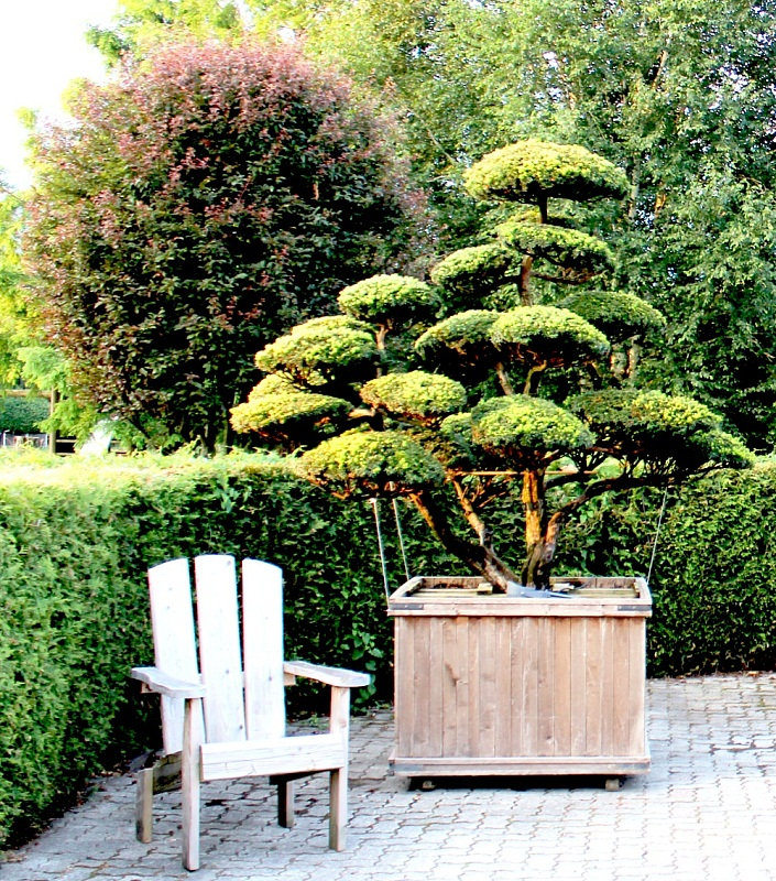 taxus cuspidata bonsai die japanische eibe. Black Bedroom Furniture Sets. Home Design Ideas